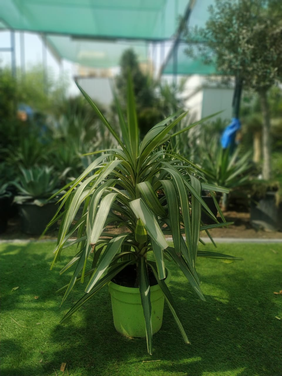 Yucca Jwell Outdoor Plants