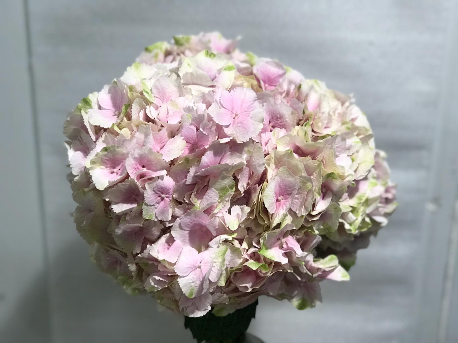 Hydrangea Light Pink Wholesale Flowers