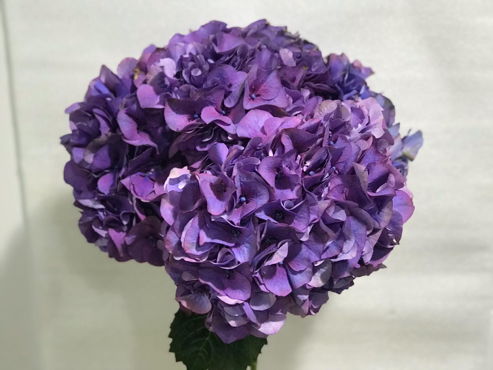 Hydrangea Dark Purple 'Wholesale Flowers'