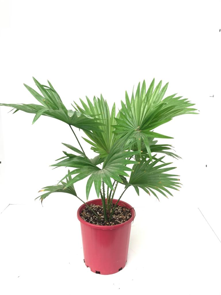 Livistonia Large Indoor Plants