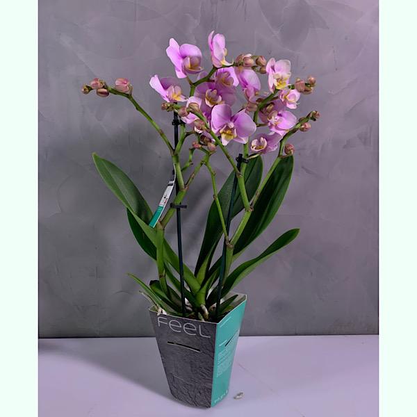 Midi orchids Indoor Plants