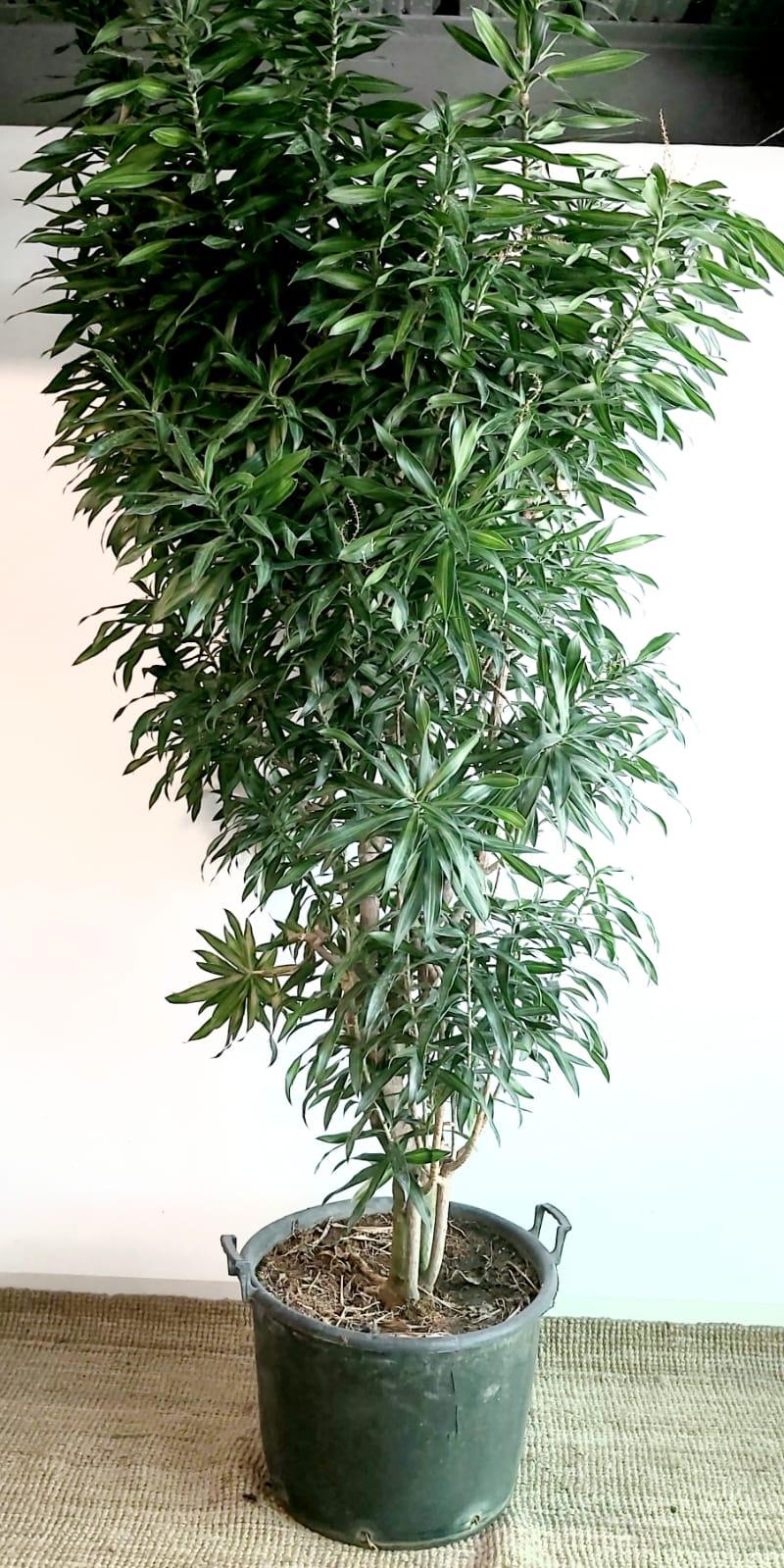 DRACAENA.S.JAMAICA Indoor Plants