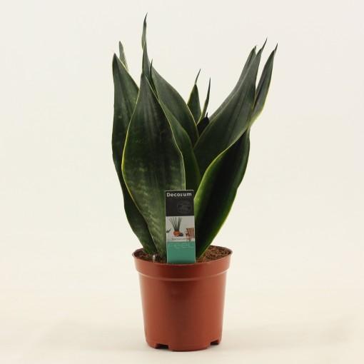 Sansevieria trifasciata Black Diamond Indoor Plants