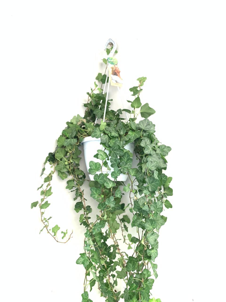 Hedera Helix Wonder Indoor Plants