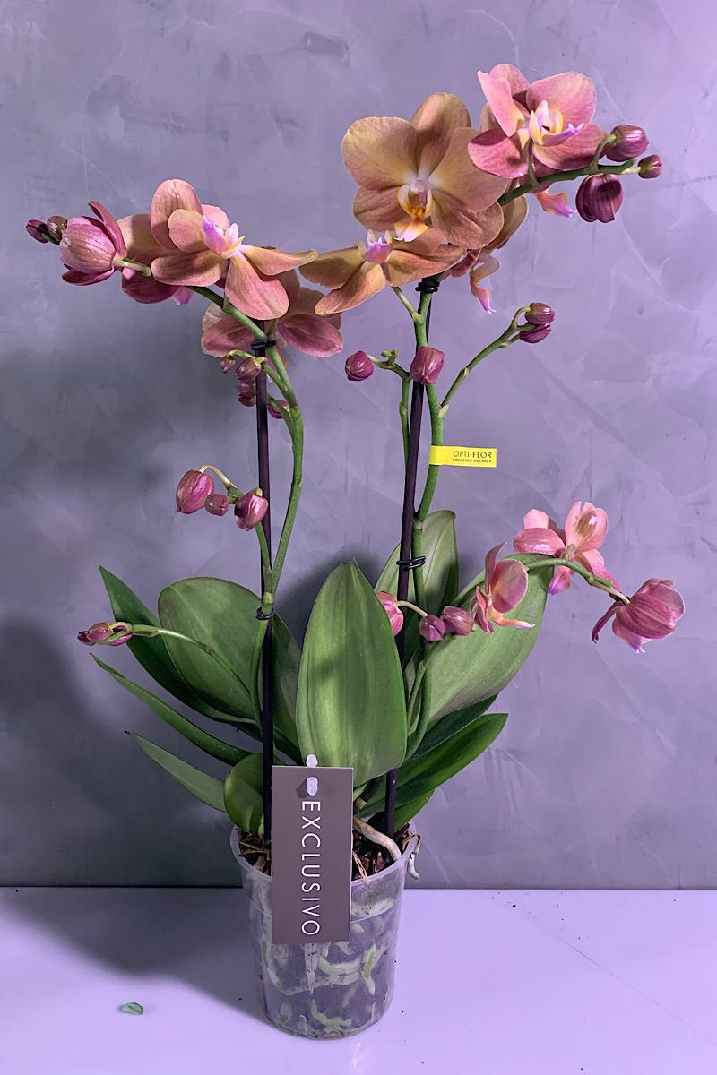 مزهرية أوركبد التشكيلة الفخمة
