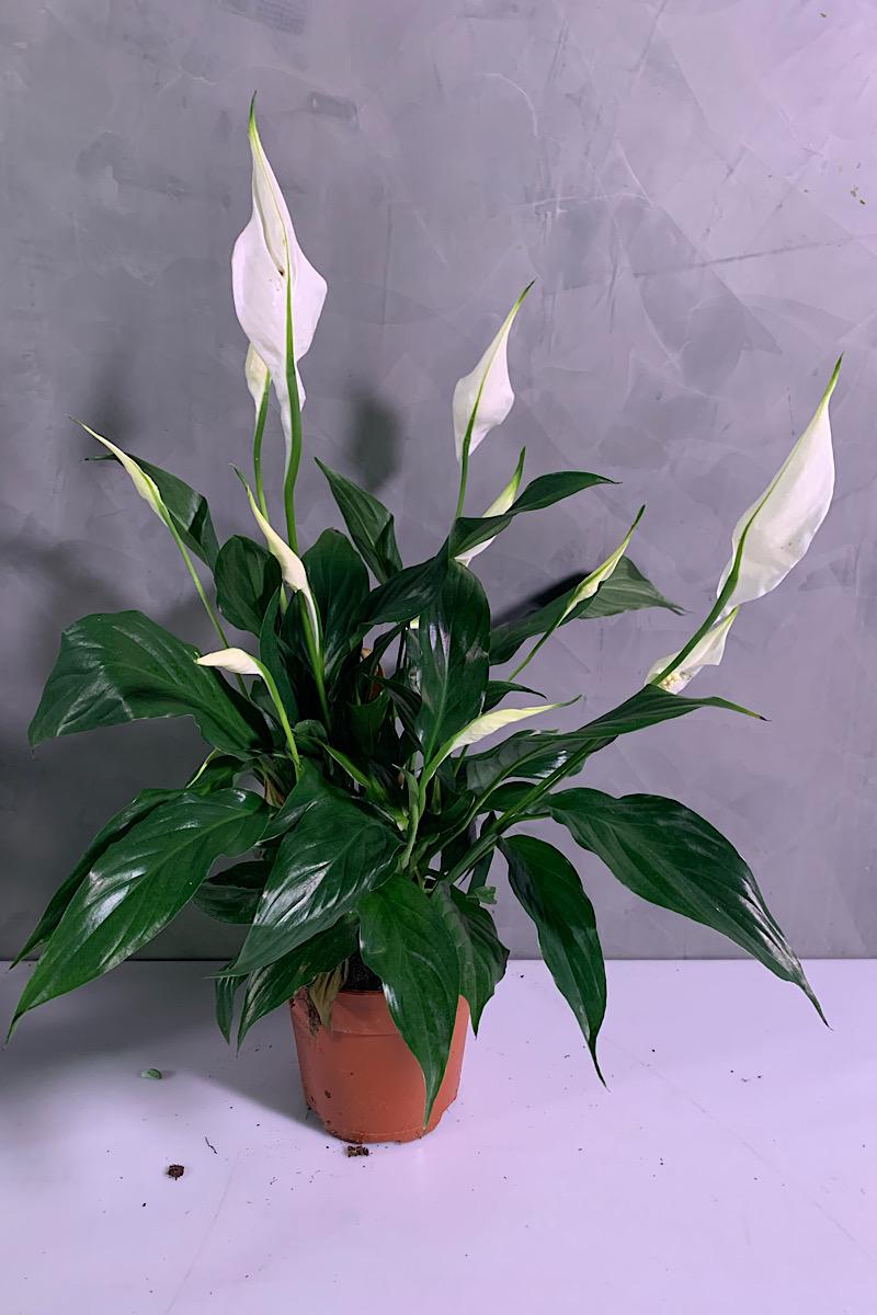 Spathiphyllum Indoor Plants