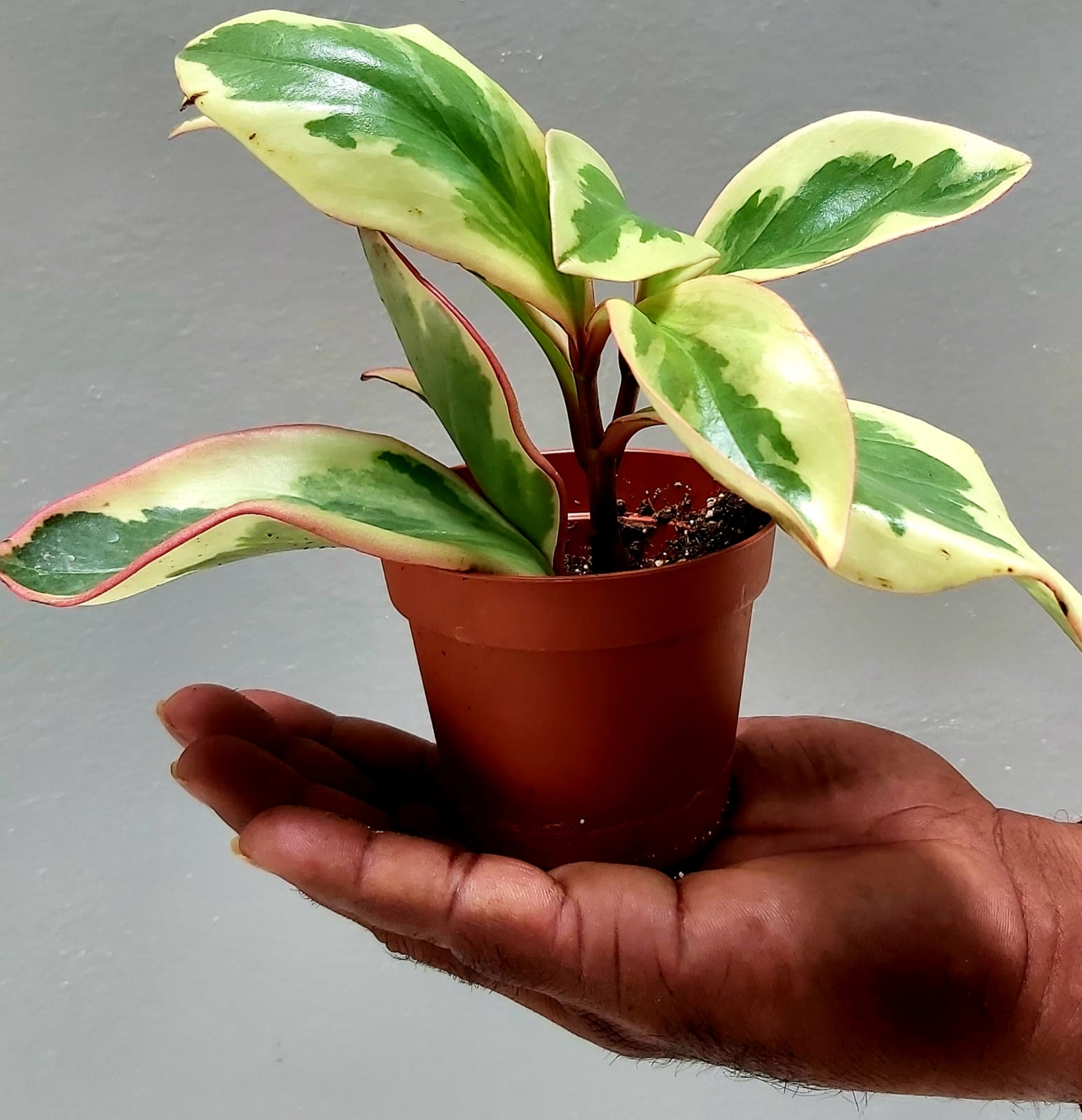 PEPEROMIA CARE Indoor Plants