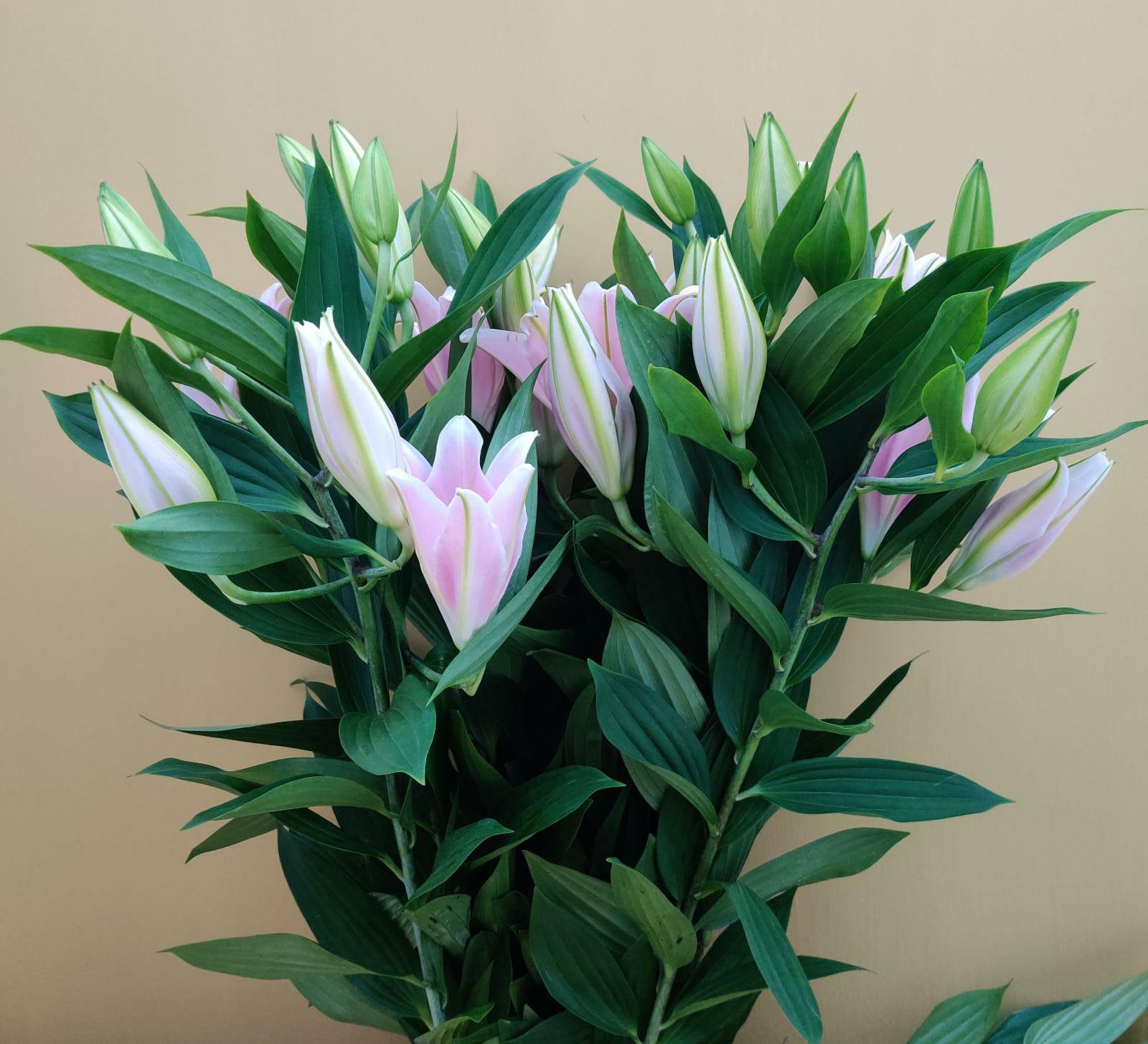 زنبق السلام - وردي ' الزهور بالجملة'