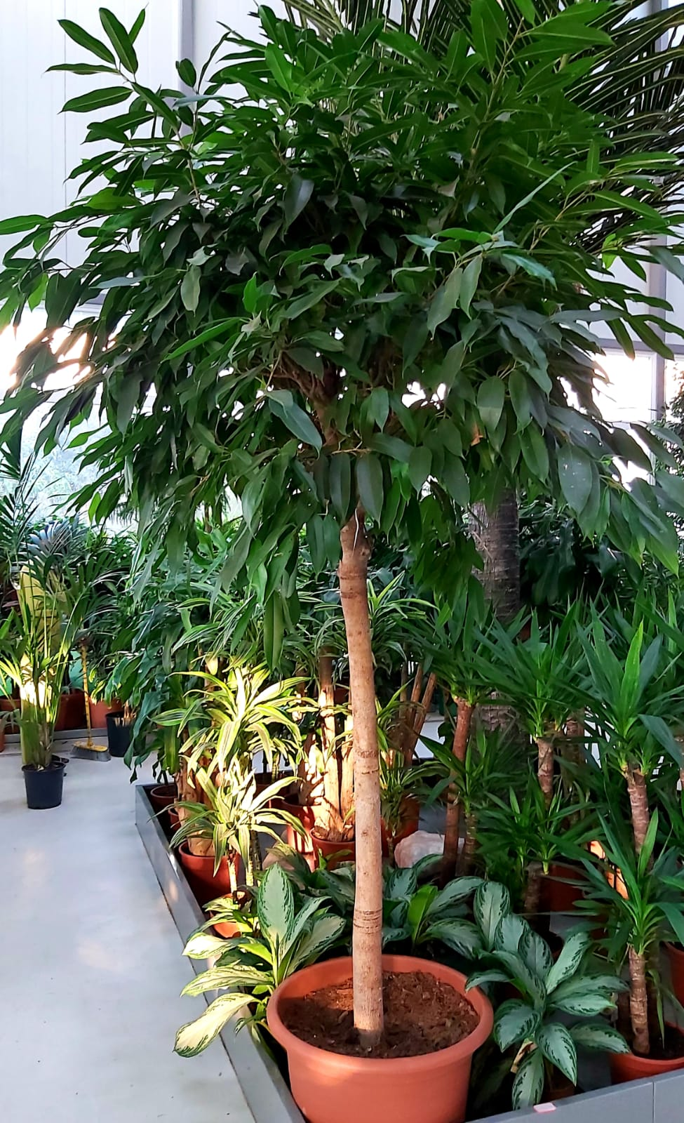 Ficus Benjamina Indoor Plants