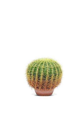 الصبار البرميل الذهبي نباتات خارجية