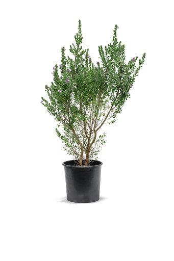 ليوكوفيلوم نباتات خارجية
