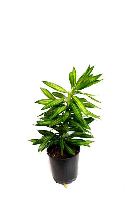 Dracaena Song of jamaica Indoor Plants