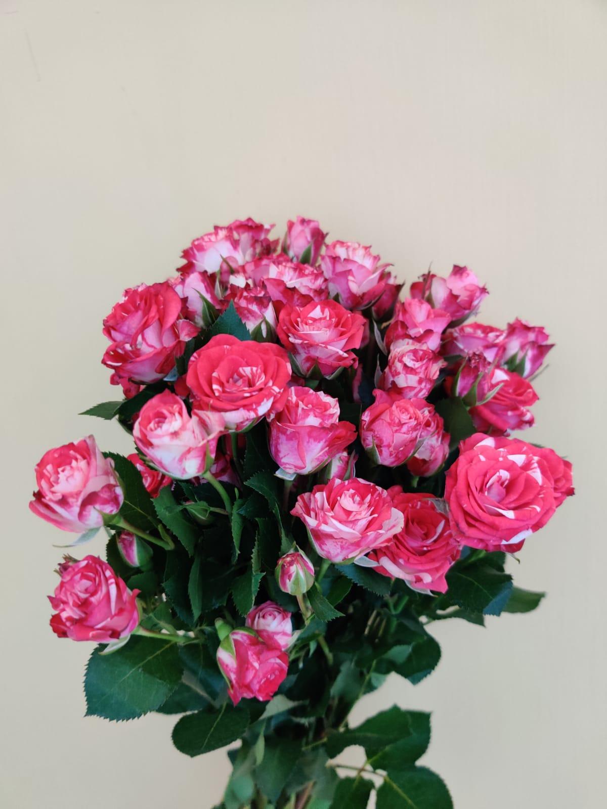 سبراي روز - وردي  الزهور بالجملة