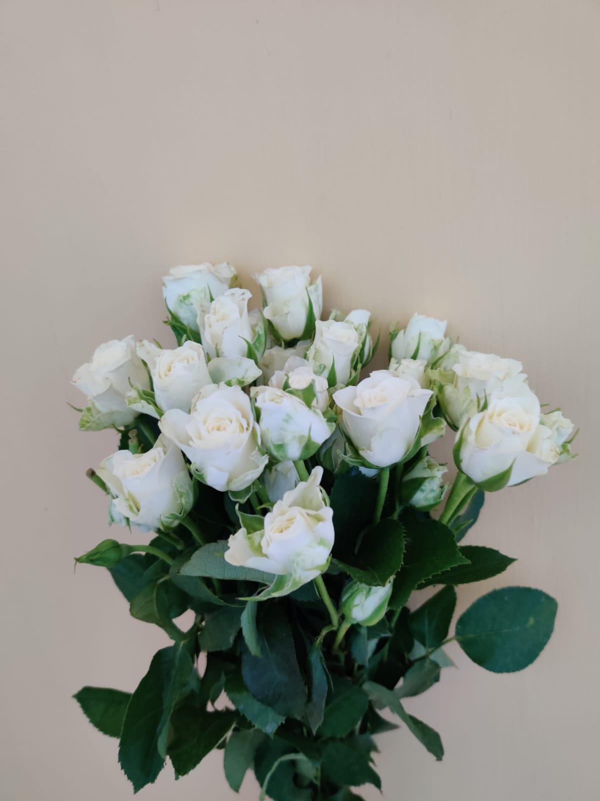 سبراي روز - أبيض  الزهور بالجملة