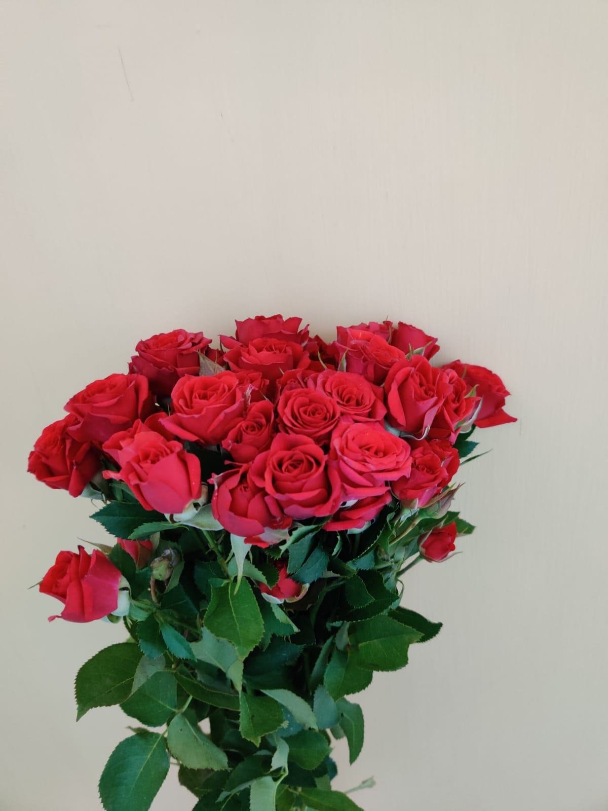 Spray Roses Mirabel ( Red ) Wholesale Flowers
