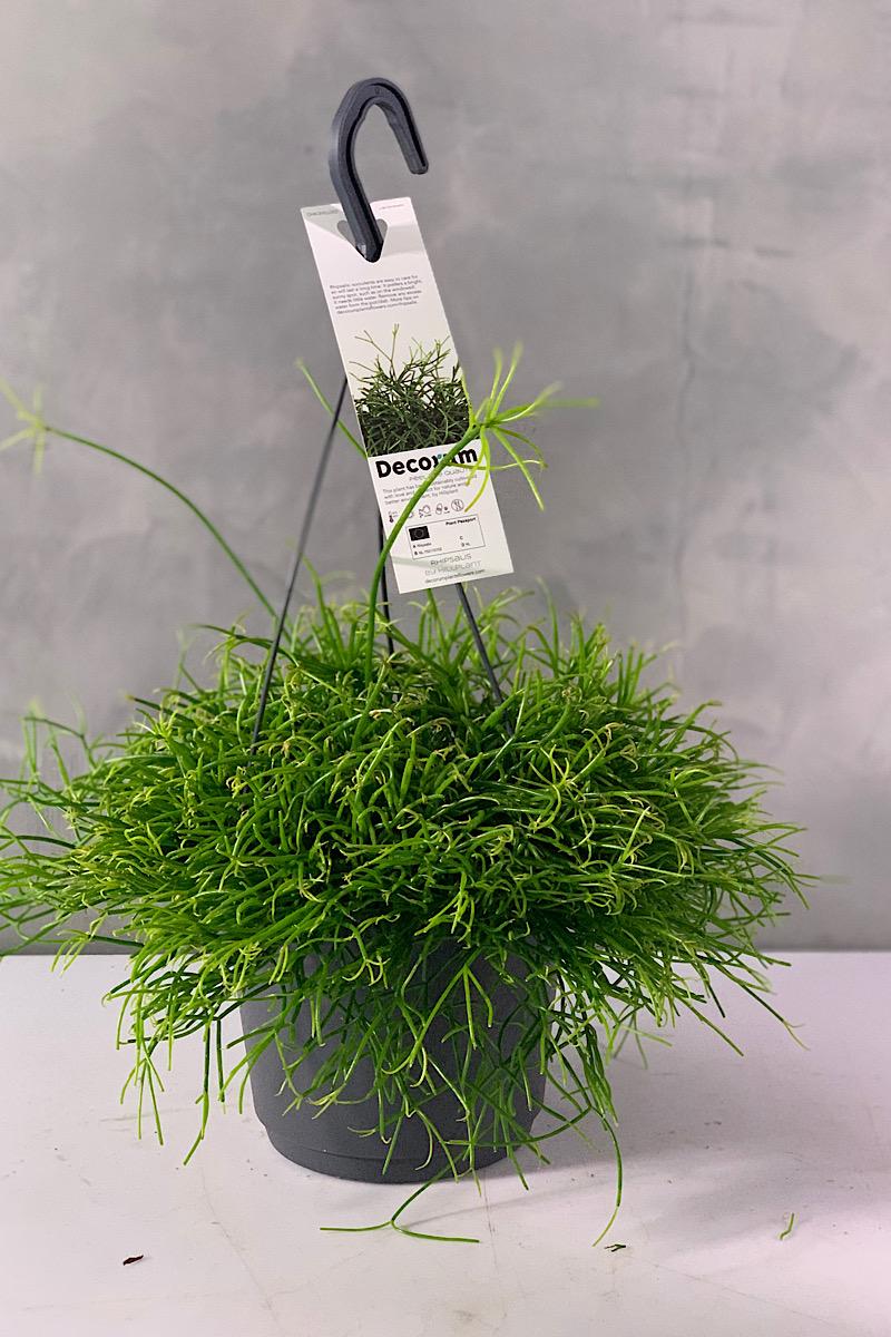 Rhipsalis Cassutha Indoor Plants