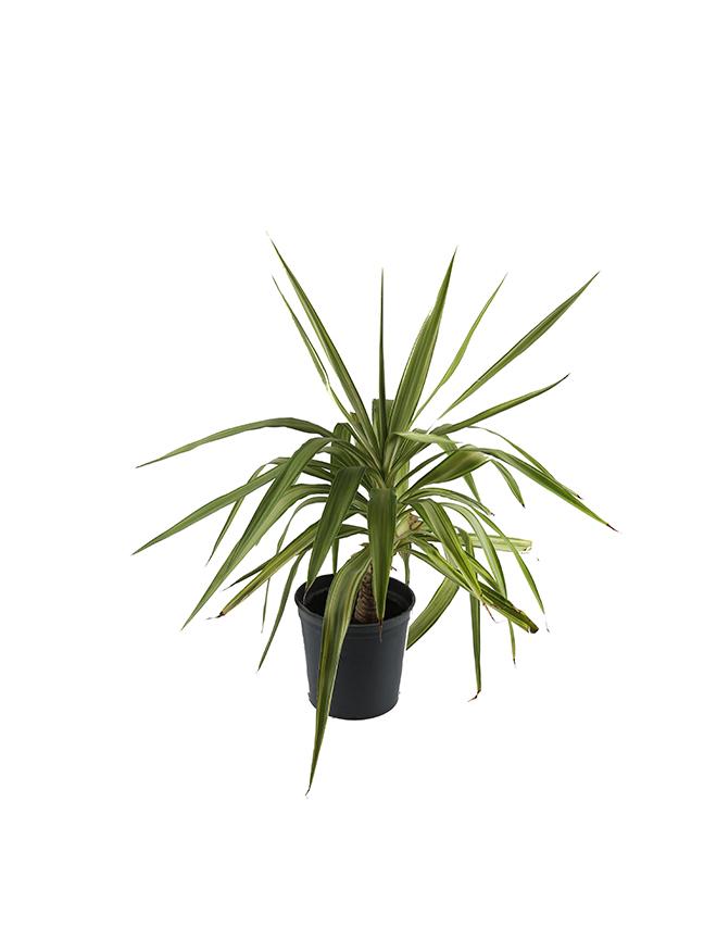 Yucca Elephantipes 'Indoor Plants'