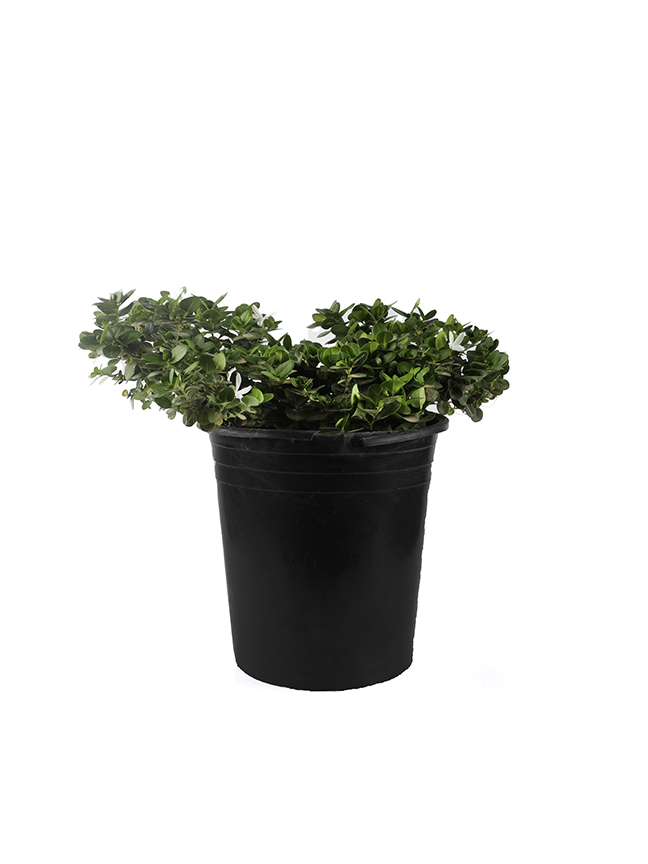 Carissa Boxwood Beauty  Outdoor Plants