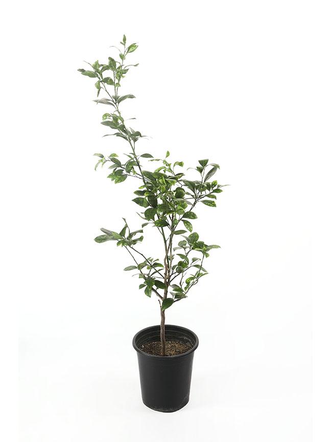 Lemon Tree Outdoor Plants