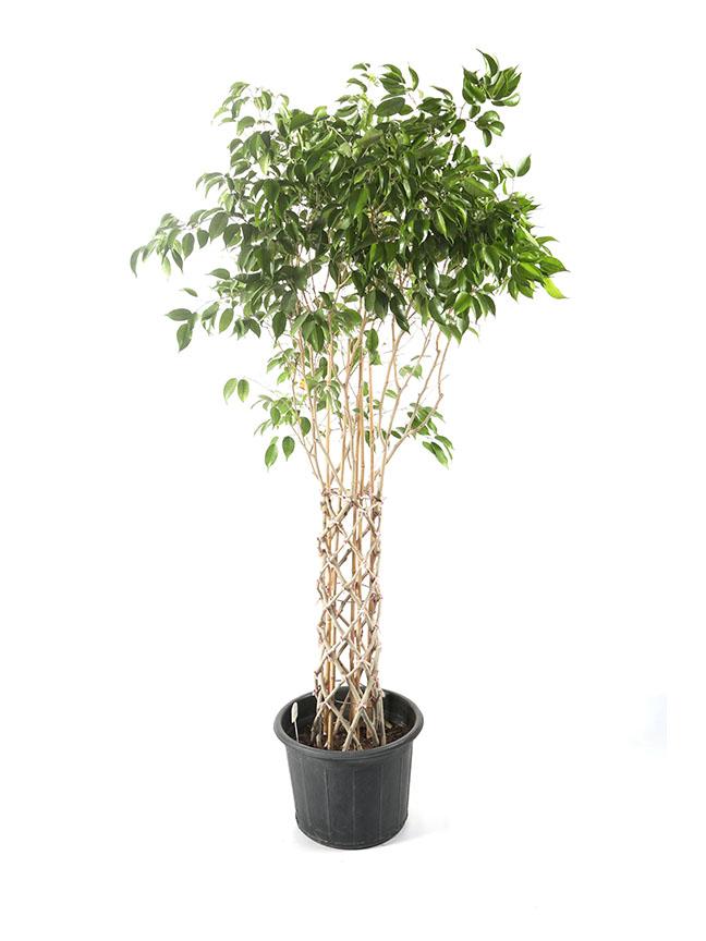 Ficus Benjamina Braid Indoor Plants