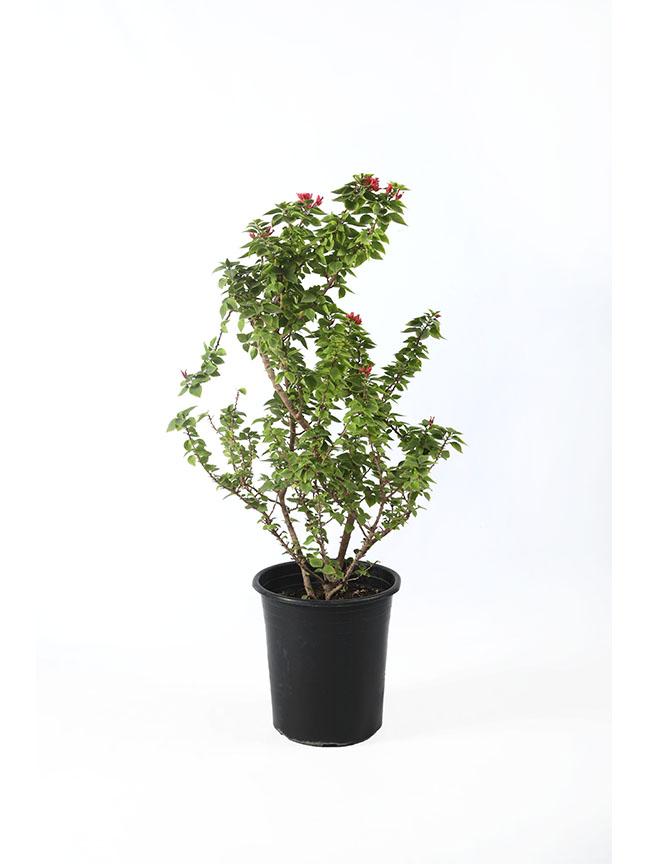 Bougainvillea Dwarf - 2 Outdoor Plants