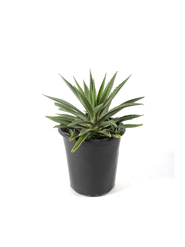 اجاف 'نباتات داخلية'