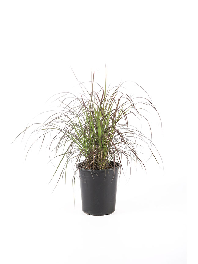 Pennisetum Setaceum Rubrum  Outdoor Plants Shrubs