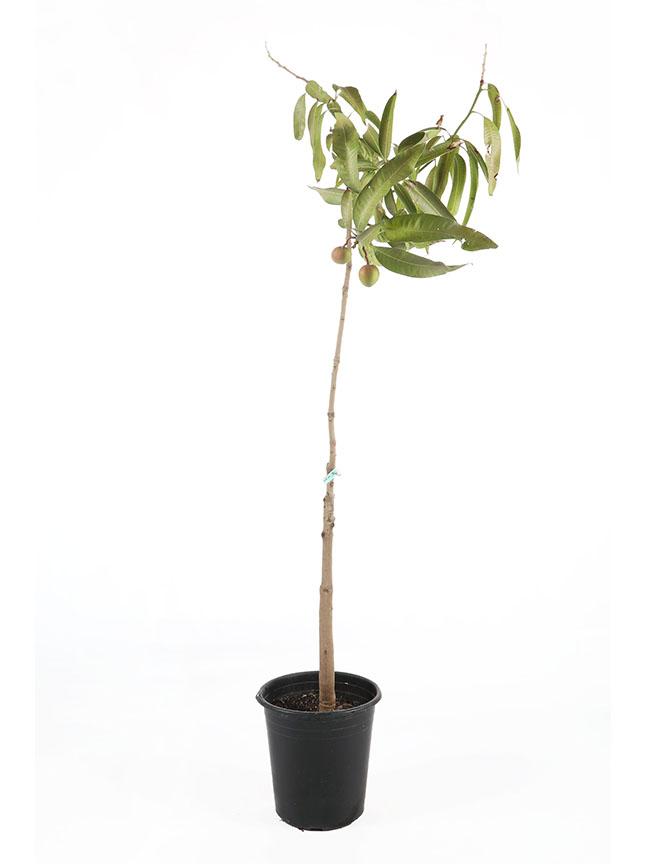 Mangifera Indica 'Outdoor Plants'