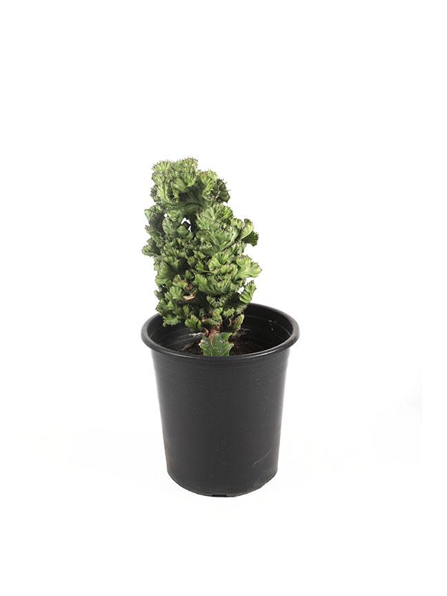 Euphorbia Lacta (Green)  Indoor Plants
