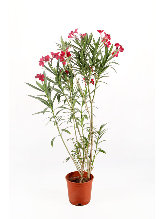 دفلة نباتات خارجية