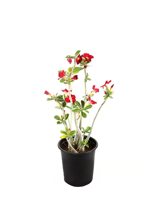 عدنة نباتات داخلية