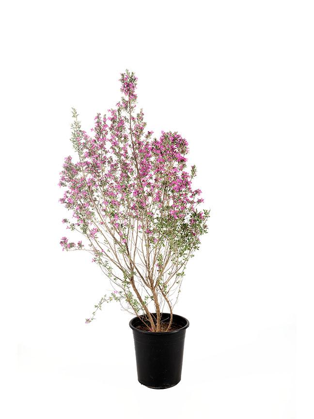 مرامية فضية 'نباتات خارجية'