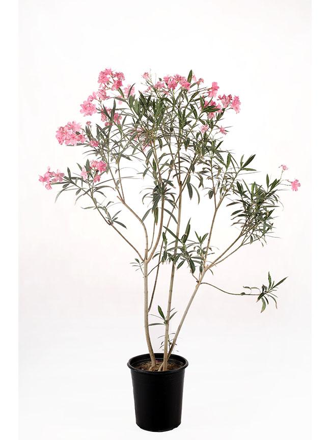 Nerium Oleander Pink Color 'Outdoor Plants'