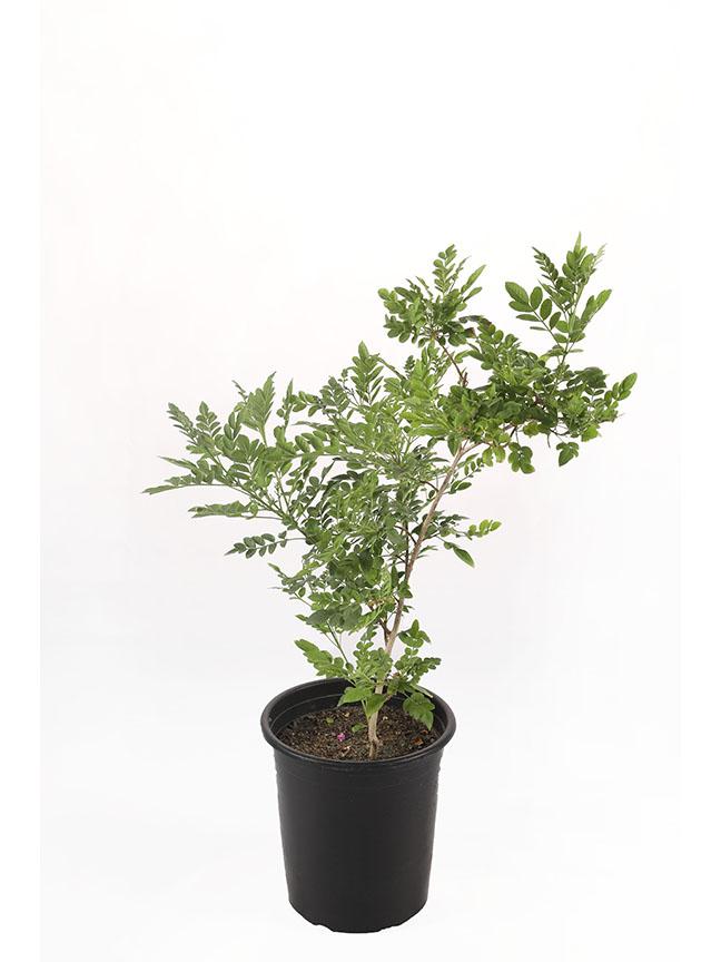 Tecomaria Outdoor Plants