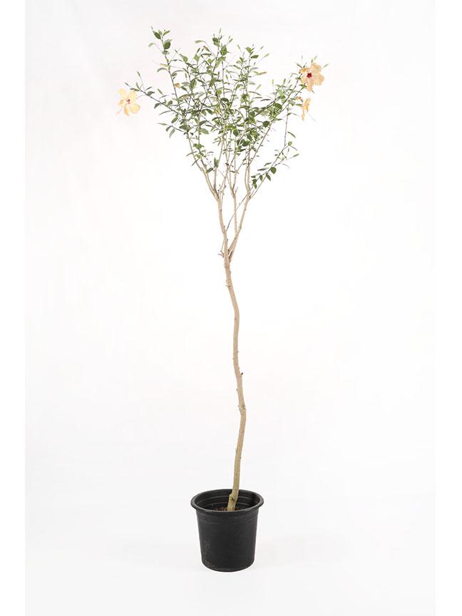 Hibiscus Rosa Sinensis 1 Outdoor Plants