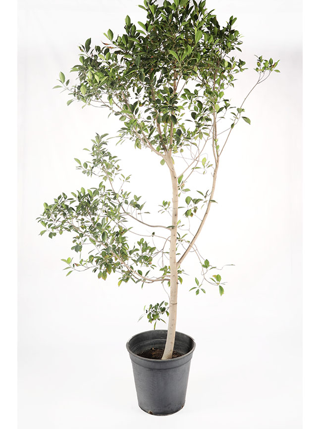 Ficus Nitida - 2 Outdoor Plants
