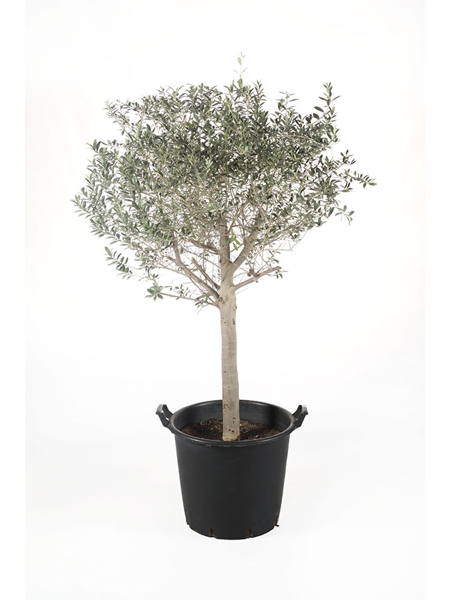 Olive Trees (50 Ltr Pots Size) 'Outdoor Plants'