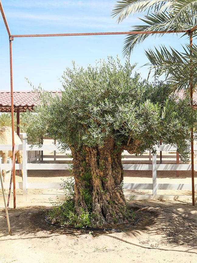 شجرة الزيتون نباتات خارجية