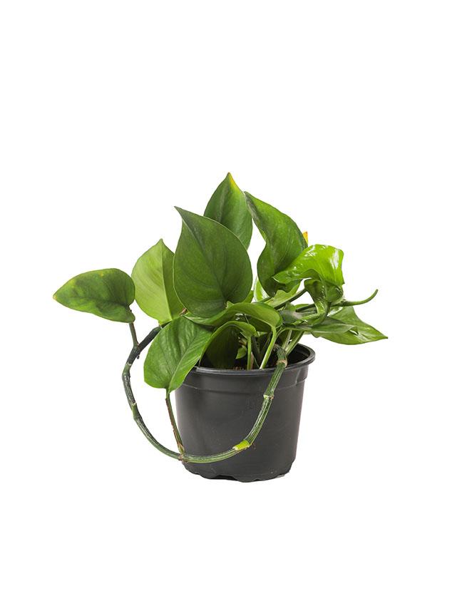 Epipremnum Aureum Indoor Plants