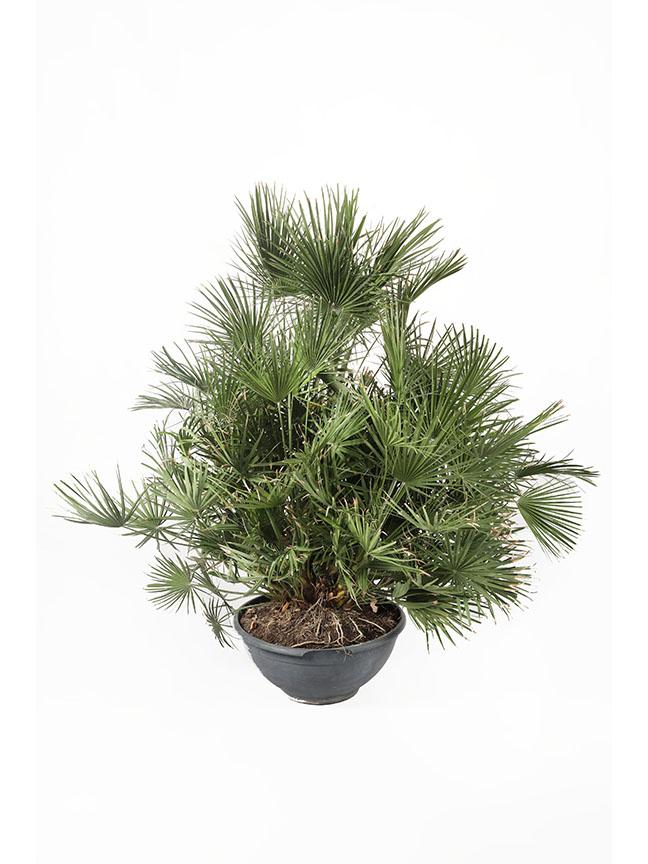 فربيون تريغونا 'نباتات خارجية'