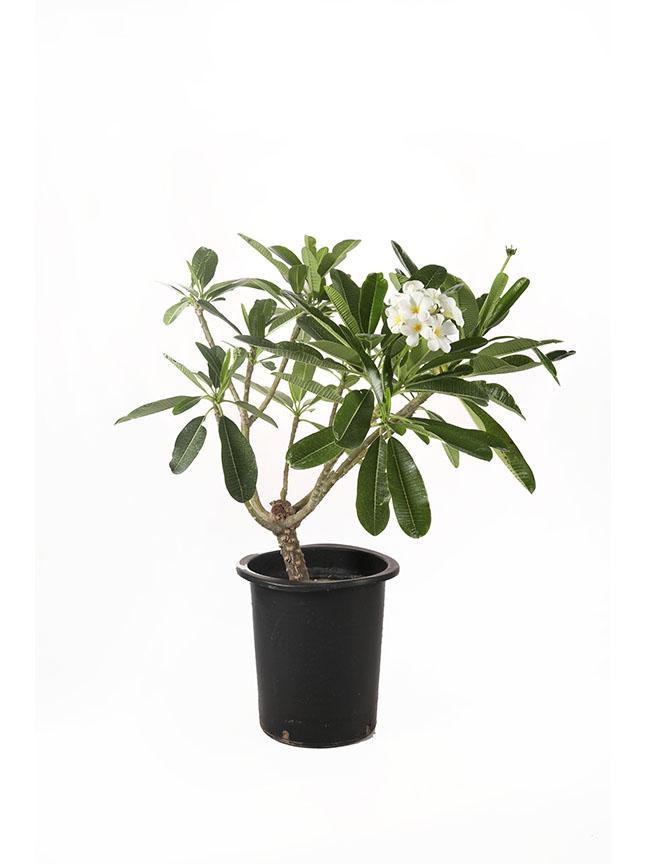 Plumeria Outdoor Plants