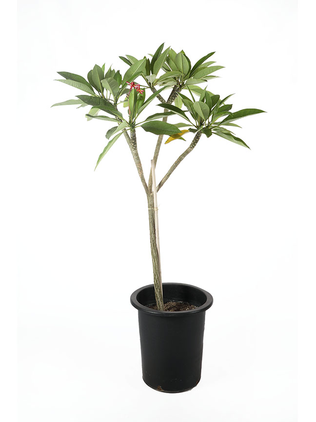 Plumeria Obtusa 'Outdoor Plants'