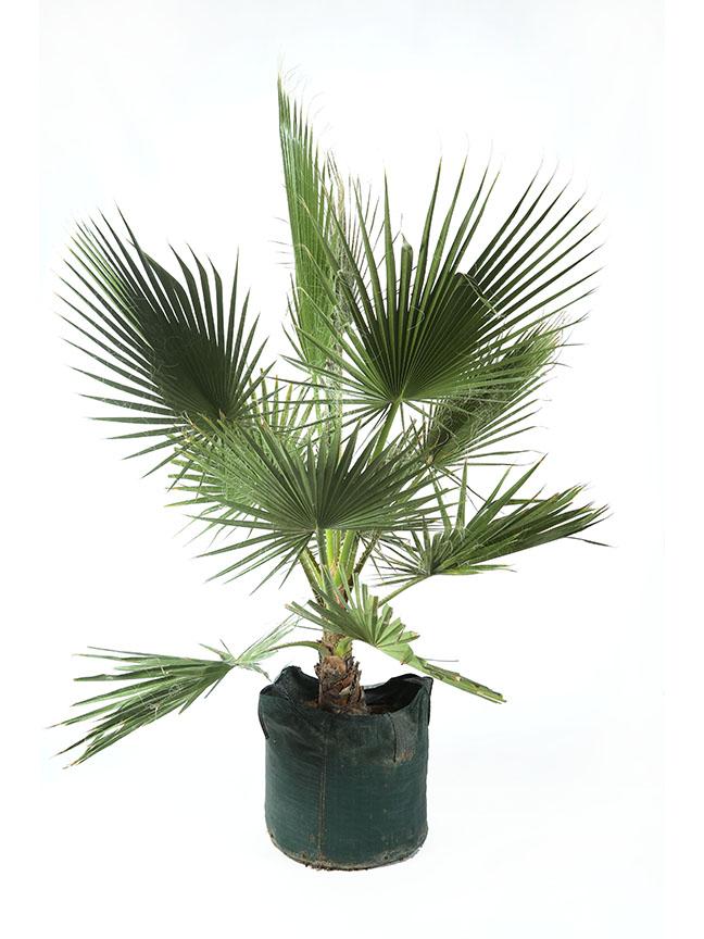 Washingtonia Filifera Outdoor Plants