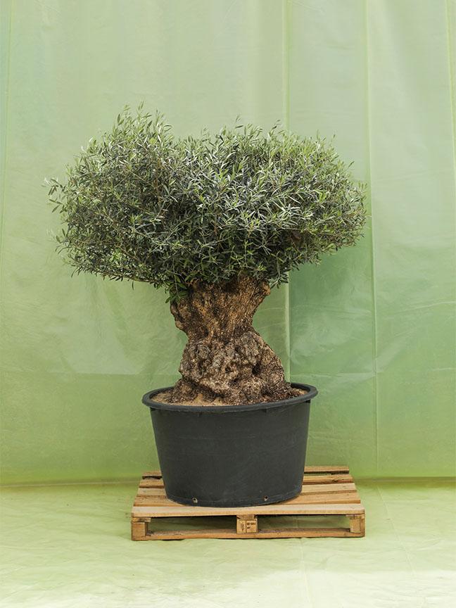 شجرة الزيتون 'نباتات خارجية'