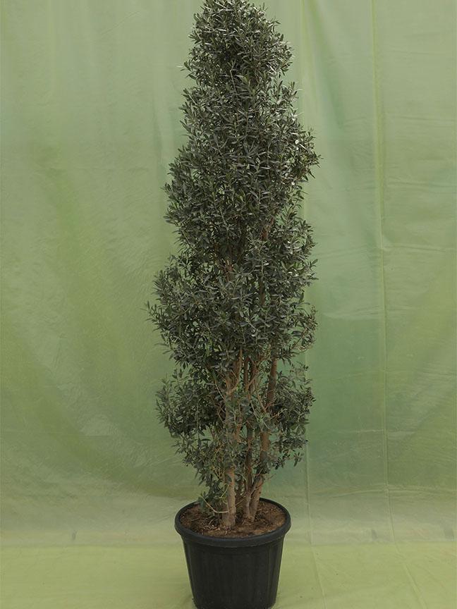 نبتة الزيتون 'نباتات خارجية'
