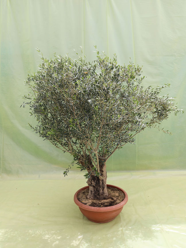Olive Tree Safari 'Outdoor Plants'