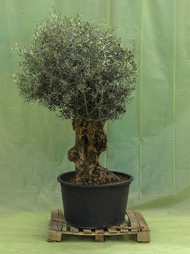 Olive Tree (230 Ltr) 'Outdoor Plants'