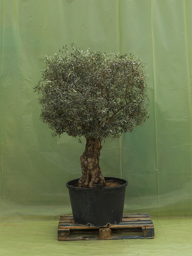 Olive Trees 1  'Outdoor Plants'