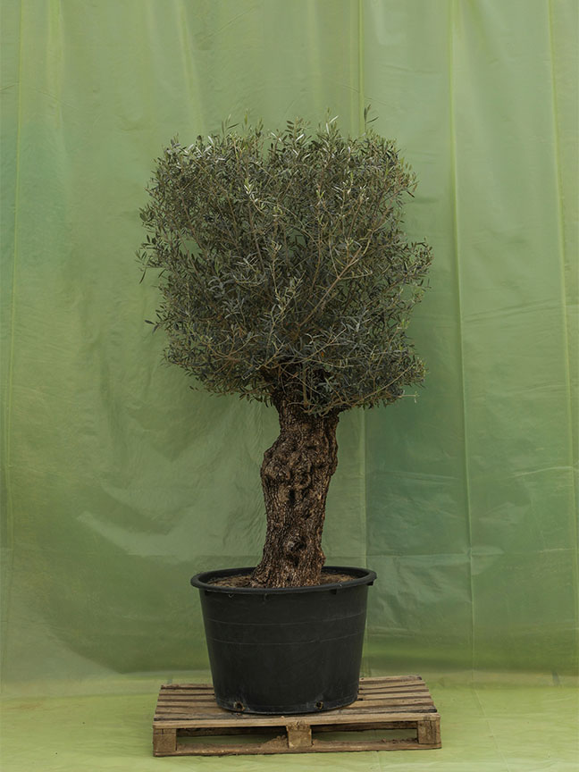 Olive Trees 9 'Outdoor Plants'