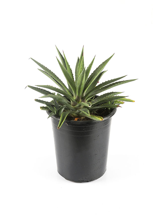 Agave Outdoor Plants